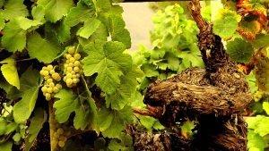cepa uva godello