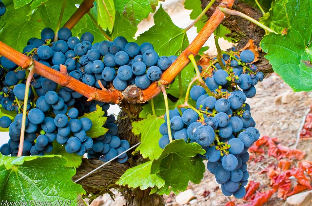 Segunda vendimia más abundante en Galicia, con 64 millones de kilos de uva