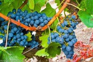 cepa uva mencía